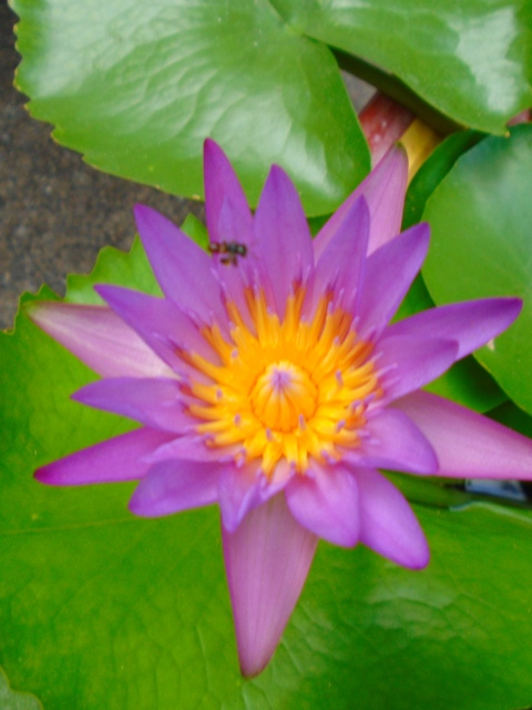 lotus in bloom