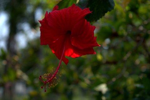 scarlet hibiscus