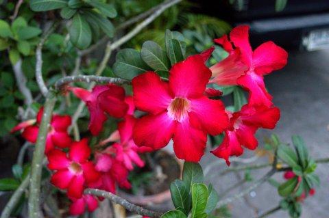 red violet desert rose