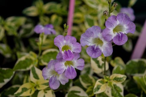 violet_