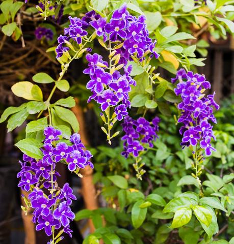 vivid purple