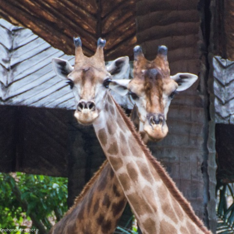 giraffes bright01180905