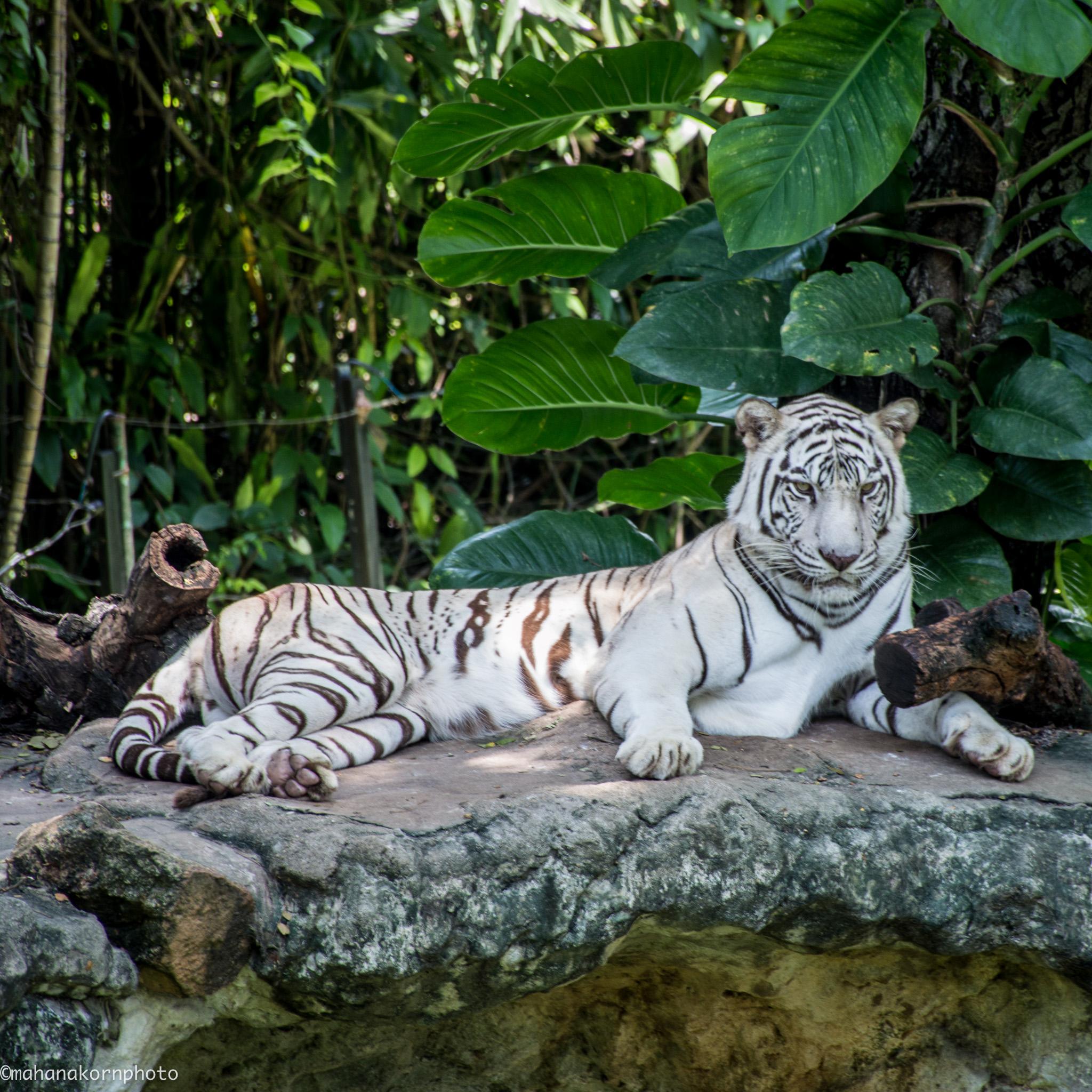 tiger 18090501